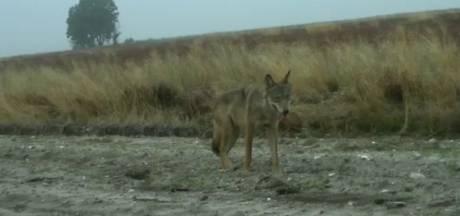 Un loup percuté par un véhicule dans le Limbourg, des recherches en cours pour retrouver l'animal blessé