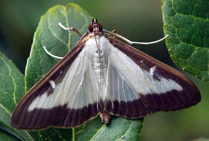 Buxusmot (Cydalima perspectalis)