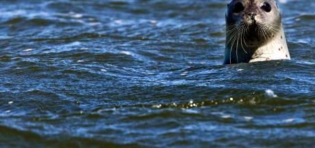 Stellendamse zeehond duikt 1.350 kilometer verder op