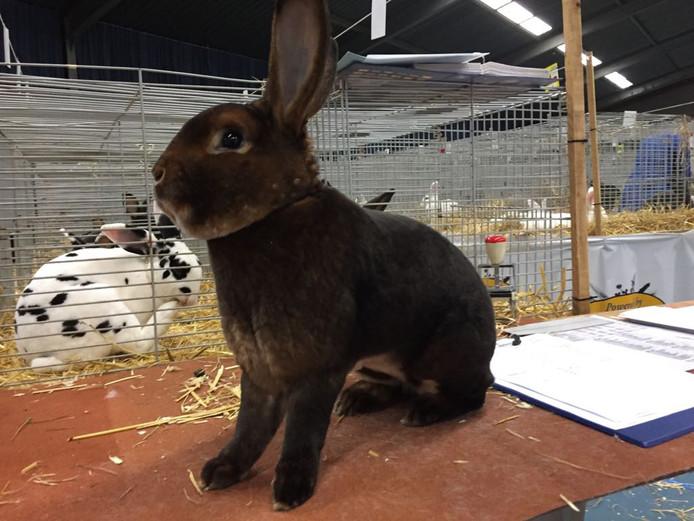 Een konijn (Rex Castor), een paar jaar geleden, op de Gelderlandshow in Wijchen.