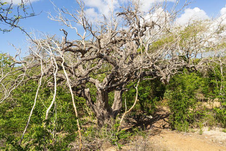 De oude dividiviboom groeit niet meer, maar biedt plek voor insecten en vogels. Beeld Stephan Kogelman