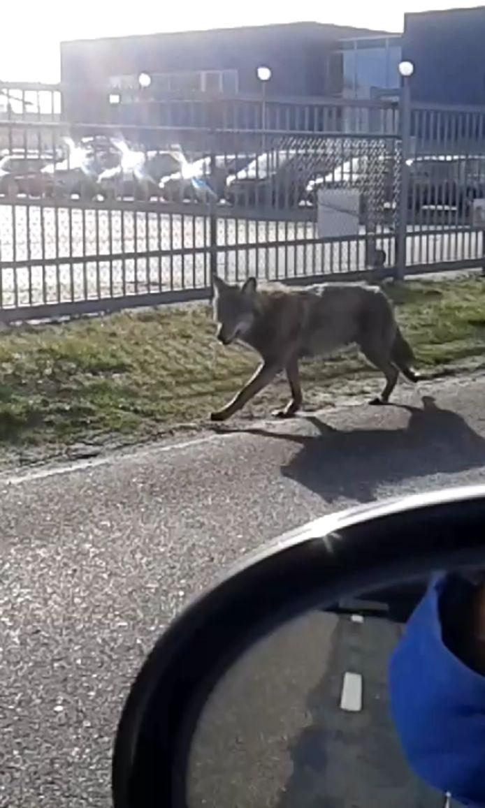 De wolf die in maart in Drenthe en Groningen rondliep is doodgereden in Duitsland.