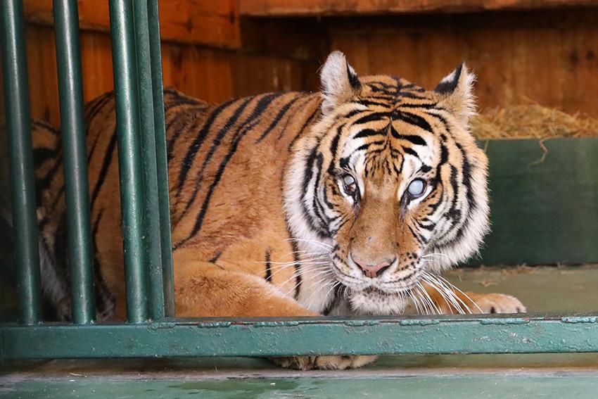 Eén van de tijgers in het Natuurhulpcentrum van Oudsbergen.