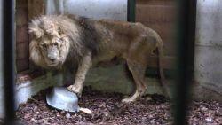 """Natuurhulpcentrum bevrijdt met hulp van gewapende agenten zwaar verwaarloosde leeuw uit Frans circus: """"In zo'n toestand hebben we nog nooit een dier aangetroffen"""""""