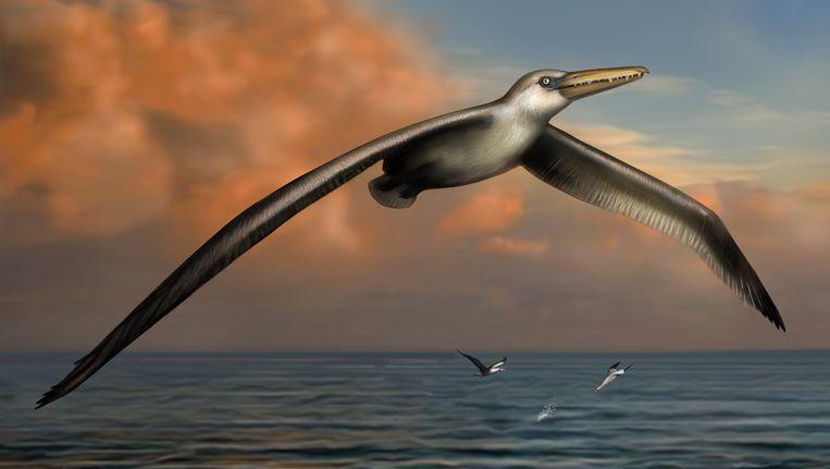De Pelagornis sandersi leefde 25 miljoen jaar geleden.