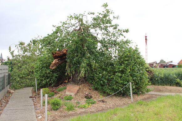 De linde mag dan wel omgevallen zijn, dankzij de Verbeke Foundation krijgt de boom toch een tweede leven.