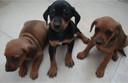 Vergelijkbare puppies van de fokker.