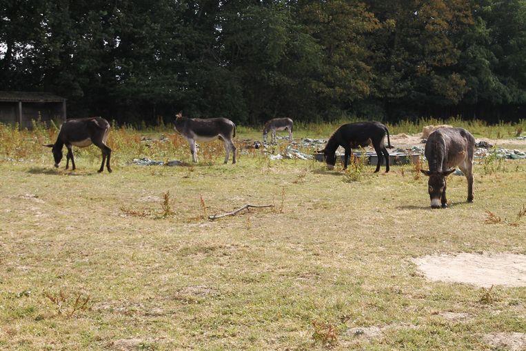 De ezels staan op een weide vol met plastic en hebben overal verwondingen.