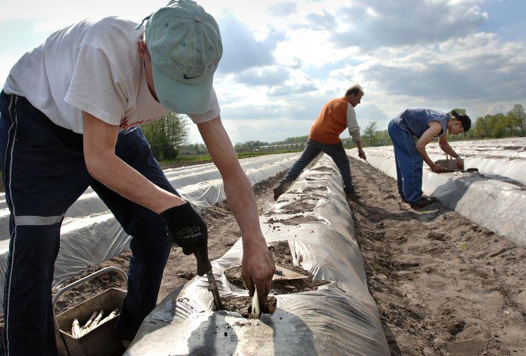 Poolse aspergestekers aan het werk. Beeld null
