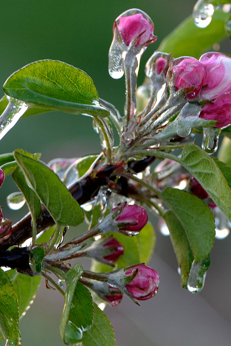 Vorst raakt fruittelers hard: 'Bessen als verlepte sponsjes'