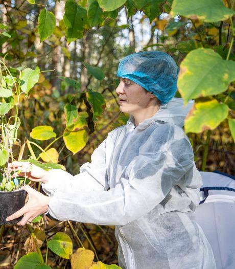 Biologen: bladvlo die Japanse duizendknoop moet uitroeien, wordt heus geen plaag