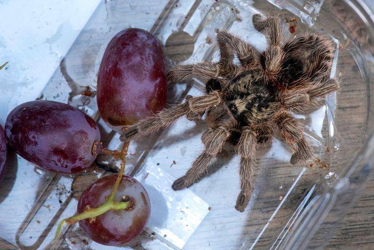 De vogelspin tussen de Chileense pitloze druiven van Albert Heijn. In een paar trosjes valt het dier nauwelijks op dankzij de schutkleur.