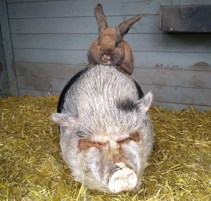 Konijn Junior en varken Pang dikke vrienden bij Knuffelweide Amerongen.