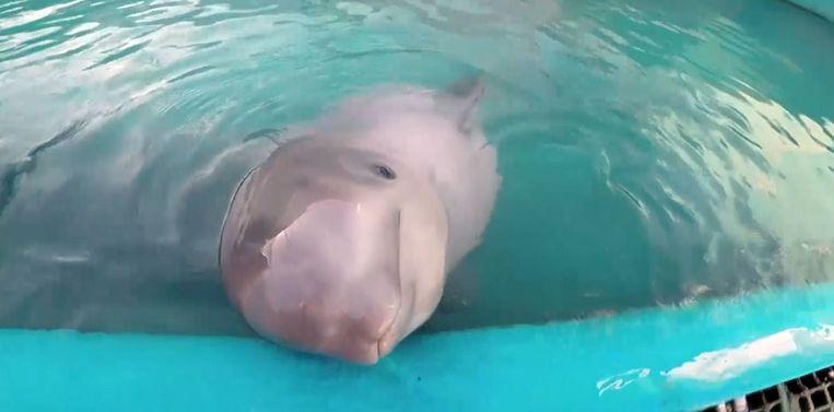 Tyonek, de witte dolfijn werd gered van de dood, maar leeft nu in gevangenschap