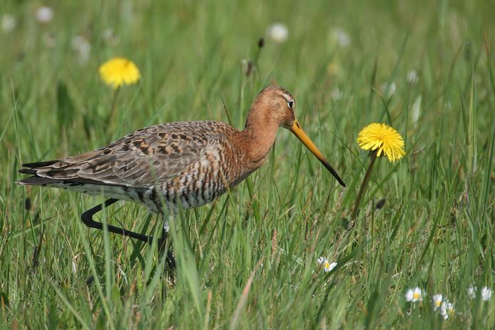 Natuurmonumenten luidt de noodklok over het voortbestaan van weidevogels als de grutto.
