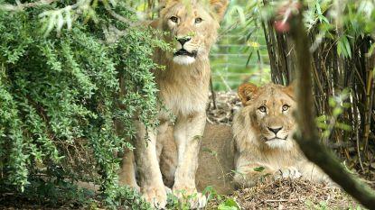 """Zoo in nood door coronacrisis: """"In ergste geval moeten we dieren spuitje geven en aan andere dieren voeren"""""""