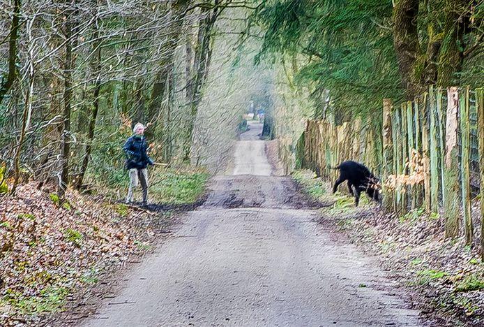Een keiler (mannetjesvarken) kwam tegen het eind van de actie plotseling uit zijn dekking tevoorschijn, botste in blinde paniek tegen het gaas van het raster en maakte daarna rechtsomkeert in de richting van het dorp.