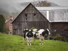 Grote paniek bij brand in schuur Meppen: 'Gelukkig hebben we alle koeien kunnen redden'