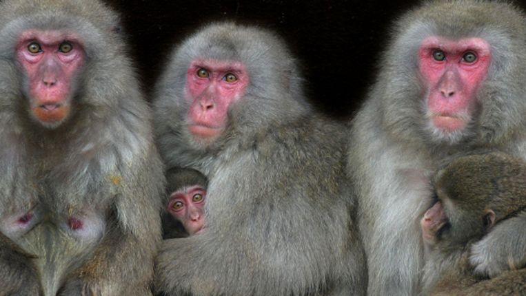 Japanse Makaak-apen in Artis.  Beeld ANP
