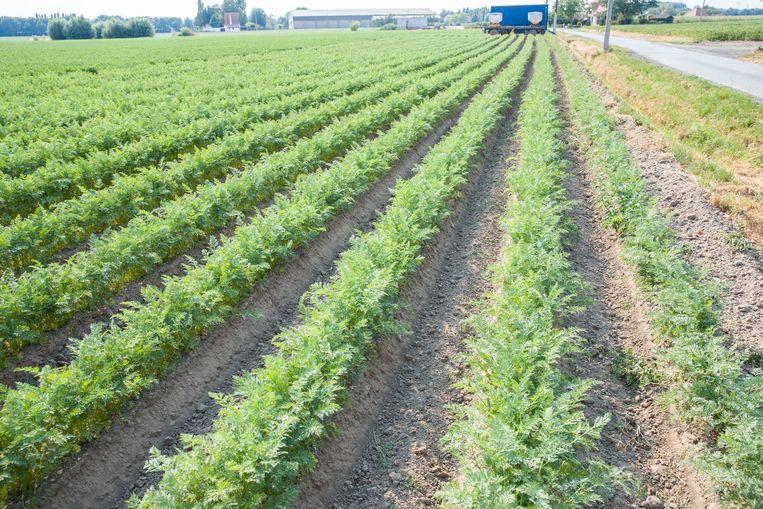 Groenten lopen schade op door de hitte. Hier rijen wortelen.
