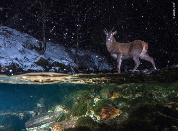 'Een droom kwam uit toen ik deze foto maakte', zegt fotograaf Vegard Lødøen. Na jaren van zoeken had hij eindelijk een locatie langs de rivier gevonden die bezocht werd door het hert van Valldal. Nadat hij zijn camera gedeeltelijk in een waterdichte doos had ondergedompeld, zette hij een flits boven en onder het water op, samen met bewegingssensoren. Tegen middernacht kruiste een mannetje de rivier. De camera legde zijn trotse pose vast.