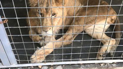 Na redding door militaire agenten: verwaarloosde leeuw uit Bagdad geland in Nederland
