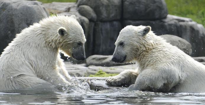 De vorig jaar geboren ijsbeertjes Sizzel en Todz .
