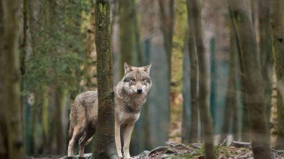 Minister bevestigt aanwezigheid van wolf in Wallonië