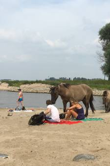 Paarden verjagen zonnebaders van Waalstrand: 'Hij zat anderhalf uur lang bovenop mijn handdoek'