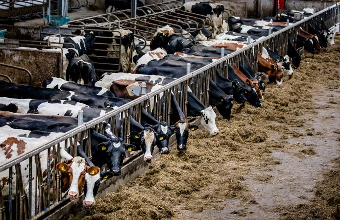 De koeien staan op stal.