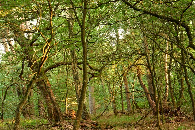 Natuurlijk bos met grote voorraad gebonden CO2 en grote biodiversiteit. Beeld Jaap Kuper.