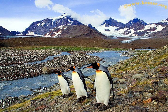 Pinguïns op South Georgia.