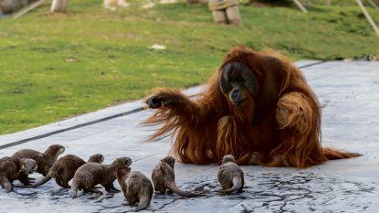Vertederende beelden van spelende orang-oetans en otters in Pairi Daiza gaan wereld rond