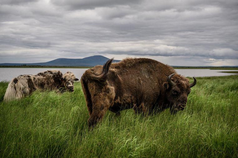 Een jak en een bizon in het noordoosten van Siberië. Bizons zijn hier negenduizend jaar geleden uitgestorven. Beeld Yuri Kozyrev / Noor