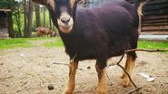 Beloning voor gouden tip naar gestolen geitje