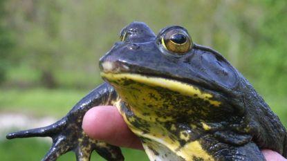 Steriele stierkikkers in Netevallei uitgezet om geïmporteerde kikkersoort te bestrijden