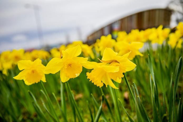 Eerste dag van de lente - Narcissen langs de kant van de weg bij omnisport bij Apeldoorn. Foto Rob Voss