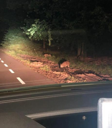 Verliefd paar in paniek door zwijnen in donker Veluws bos: 'Politie kom ons alsjeblieft redden!'