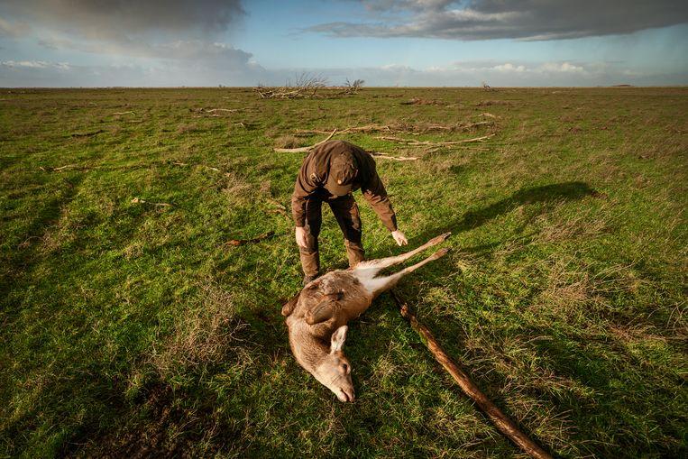 Een door Staatsbosbeheer afgeschoten edelhert in de Oostvaardersplassen. Beeld Hollandse Hoogte / Olivier Middendorp Fotografie