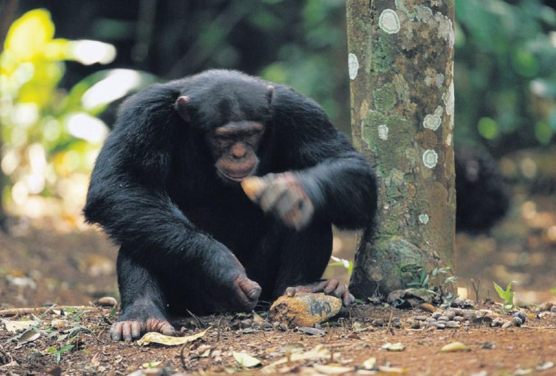 Een chimpansee gebruikt twee stenen om noten te kraken.