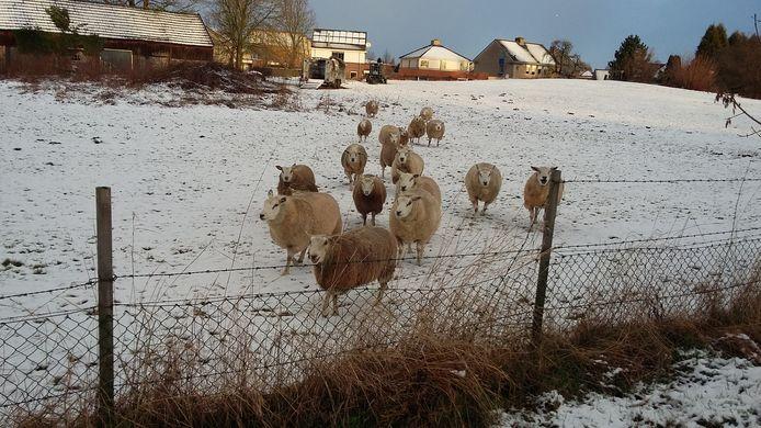 In Millingen leveren deze schapen in een besneeuwde wei een fraai beeld op.