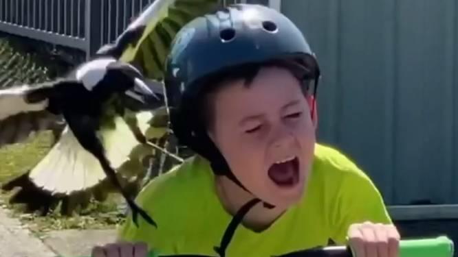Agressieve ekster valt gillend kind aan, vader staat ermee te lachen