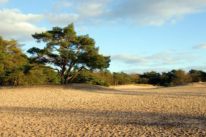 In het koude zand onder de bomen in de schaduw is het goed op de Soesterduinen.