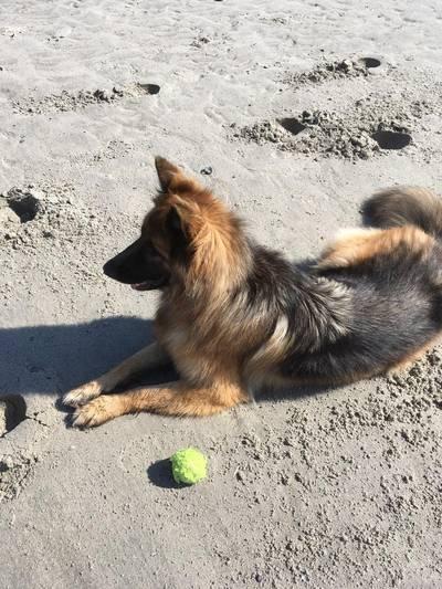 Herdershond Shadow al vijf dagen vermist bij Westenschouwen
