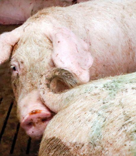 Corona blijkt stuk harder toe te slaan in gebieden met intensieve veehouderij