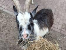Kinderboerderij doet dringende oproep niet te voeren nadat jaloerse geit lammetje vertrapt