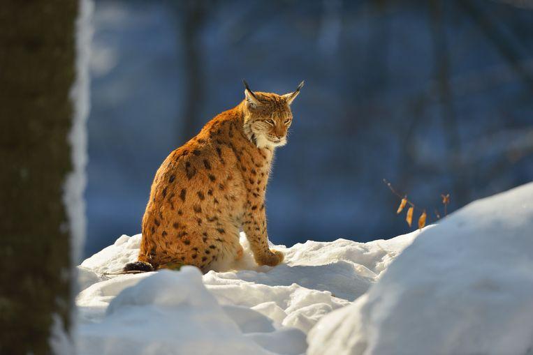 Met de Euraziatische lynx (Lynx lynx) gaat het als soort beter, volgens het EU-rapport State of Nature 2020. Beeld Getty Images