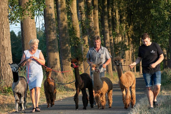 Wandelingen met hun alpaca's beperken Helma (l), André (m) en zoon Kjell van de Laar tot enkele keren per maand.