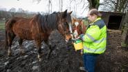 """In week tijd 23 verwaarloosde paarden ontdekt: """"Een paard is géén wegwerpproduct"""""""