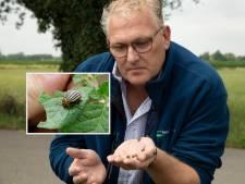 Kever-invasie in Millingen: 'Heel vervelend, maar ik kan er niets aan doen'